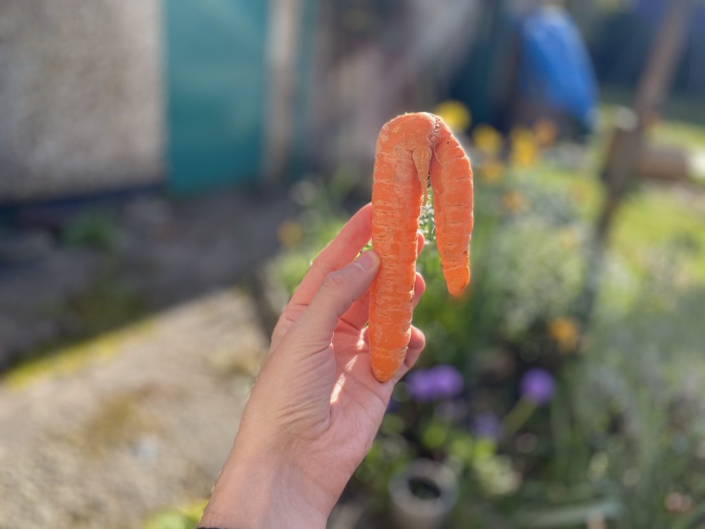 funny shaped carrot