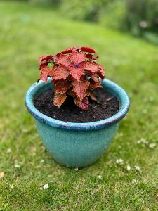 Coleus Wall Street Red Foliage in Plant Pot