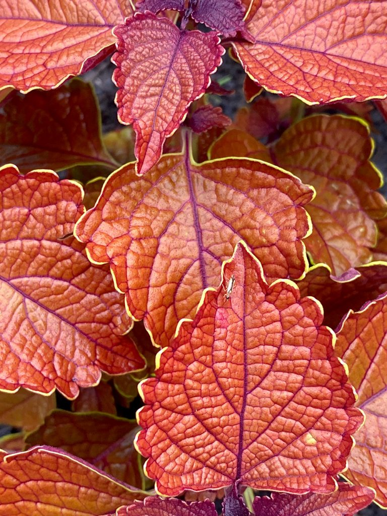 Coleus Wall Street Red Foliage