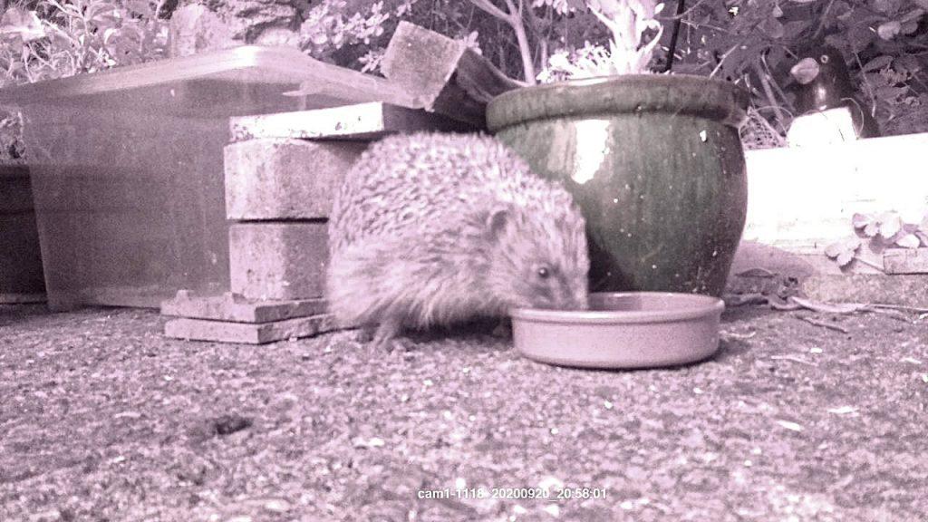 raspberry pi hedgehog camera