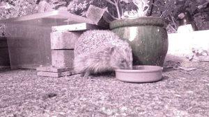 raspberry pi hedgehog camera with hedgehog
